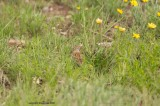 field sparrow may 16
