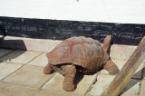 Speedy Gonzales, the giant tortoise
