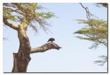 Aguila y presa  -  Eagle and prey