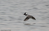 Harle Couronné Mâle - Male Hooded Merganser