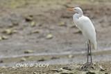Mesophoyx/Egretta intermedia - Intermediate Egret