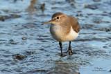 Common Sandpiper   Scientific name - Actitis hypoleucos   Habitat - Common along the shores of wide variety of wetlands.   [COASTAL LAGOON, MANILA BAY, EOS 7D + 500 f4 IS + Canon 1.4x TC, bean bag]