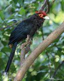 Red-Crested Malkoha  (a Philippine endemic)   Scientific name - Phaenicophaeus superciliosus   Habitat - Lowland forest, edge and second growth.   [20D + Sigmonster (Sigma 300-800 DG)