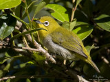 Mountain White-eye   Scientific name - Zosterops montanus   Habitat - All forest types above 1000 m.   [Elev. 1675 m ASL, MT. POLIS, BANAUE, IFUGAO, 40D + 500 f4 IS + Canon 1.4x TC, bean bag]