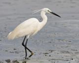 Little Egret (breeding plumage)  Scientific name: Egretta garzetta   Habitat: Coastal marsh and tidal flats to ricefields.   [STA. CRUZ, ZAMBALES PROVINCE, 40D + 500 f4 IS + Canon 1.4x TC, manual exposure, bean bag]