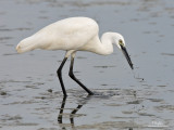 Little Egret   Scientific name: Egretta garzetta   Habitat: Coastal marsh and tidal flats to ricefields.   [STA. CRUZ, ZAMBALES PROVINCE, 40D + 500 f4 IS + Canon 1.4x TC, manual exposure, bean bag]