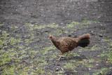 Hawaiian Pheasant