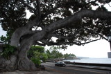 Downtown Kona Tree