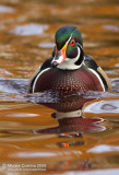 Wood-duck (Aix-sponsa) on the golden light