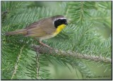 Paruline masquée ( Common Yellowthroat )