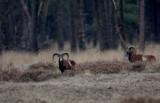 Moeflon/European Mouflon