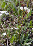 Lloydia serotina  Alpine lily