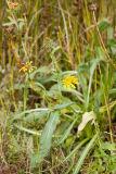 Grindelia integrifolia  Entire leaved gumweed
