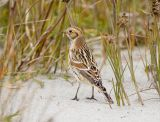 Lapland Longspur, Midway Beach WA