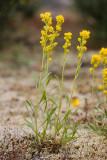 Mt. Albert goldenrod    Solidago simplex spp simplex var. simplex  (Solidago spathulata v. neomexicana)