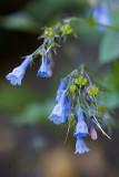 Mertensia oblongifolia  Shade bluebells