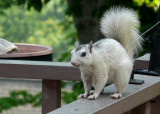 WHITE SQUIRREL ON DECK RAIL - ISO 100