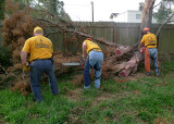 MANY OF THE DOWNED AND DAMAGED TREES WERE BEAUTIFUL CEDARS