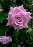 A PINK ROSE OF TEXAS, GROWING IN THE HOMEOWNER'S YARD - A SMALL BIT OF BEAUTY, AMID THE DESTRUCTION