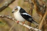 Helmeted Shrike