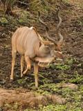 Kudu zommed in