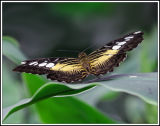 Back End Butterfly