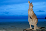 wallaby on a beach