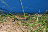 Coastal Taipan at our Eski
