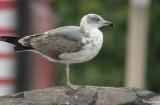 Problematic Gulls