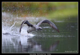 Red-throated Diver takeoff