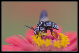 Blue Bee? India