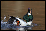 Birds of Sweden;  Waterfowl
