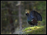 Birds of Sweden; Pheasants and Quail