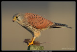 Birds of Sweden; Falcons