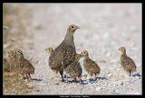 Grey Partridge, Gotland