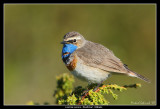 Bluethroat, Lappland