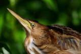 Young Little Bittern - Ixobrychus minutus - Joven Avetorillo - Jove de Martinet menut