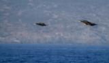 Great Cormorant - Phalacrocorax Carbo - Corb Marí Gros - Cormoran Grande
