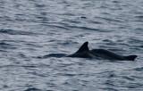 Striped Dolphines - Delfin listado - Dofí llistat