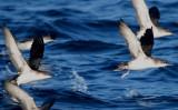 Levantine Sheawater - Puffinus (yelkouan) yelkouan - Baldriga Mediterranea - Pardela Mediterranea