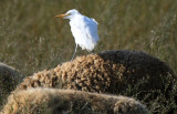 Cattle Egret on a sheep - Bubulcus ibis - Garcilla bueyera sobre una oveja - Esplagubous sobre una ovella