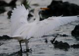 Cattle Egret - Bubulcus ibis - Garcilla bueyera - Esplagubous