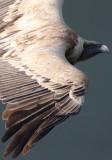 Griffon Vulture - Gyps fulvus - Buitre leonado - Voltor comú - Vautour fauve