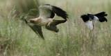 Booted Eagle - Hieraaetus pennatus - Aguililla calzada - Àguila calçada