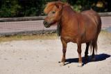 Pony from Scotland