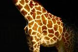 Giraffe from London Zoo