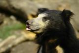 Bear - London Zoo