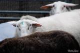 19 - Sheep