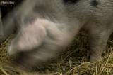 20 - Pigs