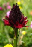 nigritelle noireGymnadenia rhellicani